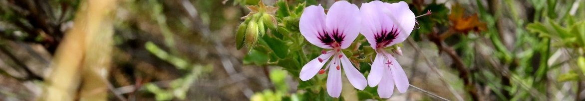 Pelargoniums species - wild and unusual